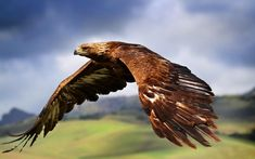 ITALY: The golden eagle (Aquila chrysaetos) is one of the best-known birds of prey in the Northern Hemisphere. It is the most widely distributed species of eagle. They can fly up to and their dives can exceed speeds of Eagle Wallpaper, Bird Wallpaper, Animal Wallpaper, Wallpaper Desktop, Mobile Wallpaper, Wildlife Wallpaper, Windows Wallpaper, Desktop Backgrounds, Hd Desktop