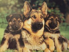 Family Portrait, animals, dogs, german, german shepherd, mother, puppies, sheperd