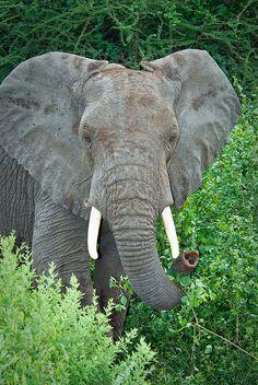Bull elephant, Lake Manyara Park in Tanzania, Africa