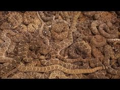 Rattlesnake RoundupPublished on Mar 7, 2013  Snake hunters gather in Sweetwater, Texas every year for what is billed as the largest rattlesnake roundup in the world.