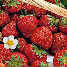 """Sorte Leben wie Gott in Frankreich: mit der französischen Sorte """"Mara de Bois"""" holt man sich ein kleines Stück Paradies in den Garten. Ihre mittelgroßen, roten Früchte erfreuen mit intensiv-fruchtigem Aroma und langer Erntezeit. Ob einfach pur genossen, in Desserts mit Joghurt, kreativen Salaten oder einfach als Marmelade, Erdbeeren sind in jeglicher Form ein Hochgenuss und für viele das Highlight des Gartenjahres. Das beliebte Rosengewächs lässt sich schon auf kleinstem Raum anbauen und… Strawberry, Fruit, Desserts, Gourmet, Crop Rotation, Harvest Season, Mulches, Paradise, God"""