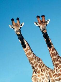 Giraffes  in Mfolozi Game Reserve, South Africa, pic: Heinrich van den…
