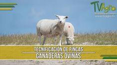 Tecnificación de Fincas Ganaderas Ovinas  - TvAgro por Juan Gonzalo Angel