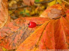Głogownik kosmaty - Photinia villosa