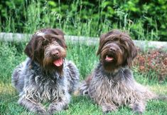 """Medium sized and bred to cover all terrain encountered by the walking hunter, the Wirehaired Pointing Griffon has been called the """"4-wheel drive of hunting dogs"""" as he will enter briars or underbrush without hesitation. Griffs excel equally as pointers in the field and as retrievers in the water. Their coarse double coat protects them in rough cover and gives them an unkempt appearance. It can be a variety of colors, most often steel gray with brown markings."""
