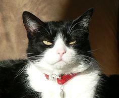 "tuxedo cats | Tuxedo"" Cat | QD friends"