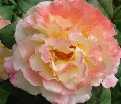 "Rose Augusta Louise. Strong, fruity, sweet fragrance. up to 50 petals. Average diameter 6""."