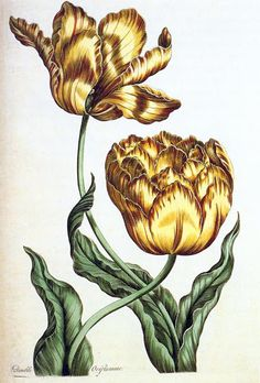 The tulip 'Double Oriflamme' from John Hill's Ecotic botany illustrated in thirty-five figures of curious and elegant plants; explaining the Sexual System; and tending to give some new lights into the Vegetable Philosophy: Printed at the expence of the author, 1759'