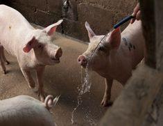 Animals, Pigs, Animaux, Animal, Animales, Animais