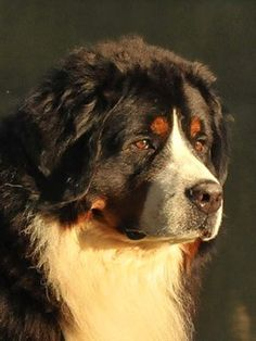 Bernese - i love this head shape in dogs. Reminds me of Divi