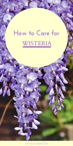flower garden care Wisteria is a beautiful and fragrant vine that can adorn fences or a pergola or trellis. Learn how to care for wisteria and how to prevent it from becoming invasive! Wisteria Trellis, Wisteria Garden, Wisteria Plant, Wisteria Wedding, Wisteria Pergola, Garden Shrubs, Garden Fences, Garden Paths, Garden Care
