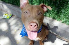 SAFE❤️❤️ 9/6/16 BY POUND HOUNDS RES-Q❤️ THANK YOU❤️ BUDDY - A1086783 - - Manhattan Please Share:TO BE DESTROYED 09/06/16 **SECOND NIGHT ON LIST – ACT NOW!**: A volunteer writes: Buddy won several of my awards yesterday including: 1) best pouty underlip 2) best smile 3) best ears 4) best snuggler and that's just for starters! He's a puppy and amazingly calm and well mannered for a youngster, so just think of the potential once in his new home. Joining us when his person left him alone in an…