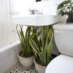 Houseplants as Camouflage : Remodelista Such a great idea- use houseplants under the bathroom sink to hide pipes Indoor Garden, Indoor Plants, Home And Garden, Potted Plants, Indoor Flowers, Mother In Law Tongue, Bathroom Plants, Bathroom Green, Blue Bathrooms