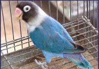 NYOPROS KICAU MANIA SOLO: LOVEBIRD SERI BIRU