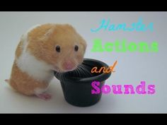 Hamster Actions and Sounds Hamster Care, Hamster Toys, Hamsters, Diys, Creatures, Action, Humor, Future, Board