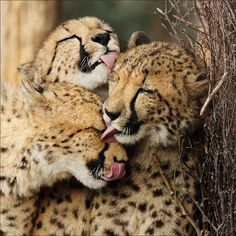 Family - Kisses for everyone in this beautiful cheetah family. Animals Kissing, Baby Animals, Cute Animals, Animals Images, Wild Animals, Beautiful Cats, Animals Beautiful, Big Cats, Cute Cats