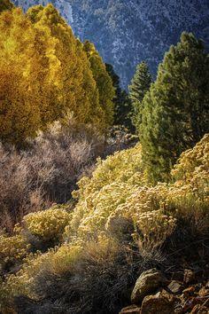 Lee Vining Canyon Aspens autumn, leaves, october, fall, aspens, lee vining