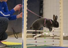 Rabbits competing in the high jump.  Several rabbits faced off in competition at the Rabbit Hopping Demonstration in the small arena  at the PA Farm Show on Sunday January 11, 2015.  Daniel Zampogna, Pennlive