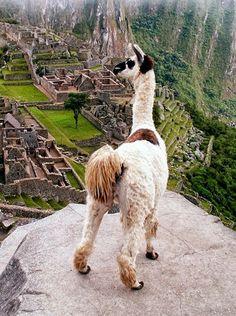 Eso llama está mirando a Machu Picchu.