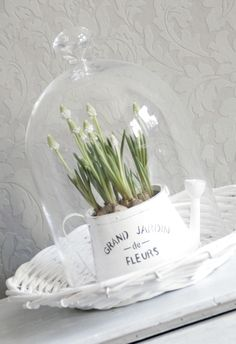 Cloche To My ❤️.Spring bulbs under glass cloche The Bell Jar, Bell Jars, Cloche Decor, White Springs, Spring Bulbs, Bulb Flowers, Apothecary Jars, Glass Domes, Spring Flowers