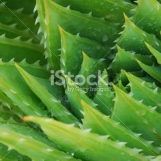 Cactus Background (Aloe Polyphylla) Royalty Free Stock Photo