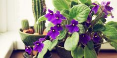 african-violet-allergenic-houseplants