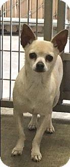 Corona, CA - Chihuahua Mix. Meet Kennel 44, a dog for adoption. http://www.adoptapet.com/pet/15631273-corona-california-chihuahua-mix