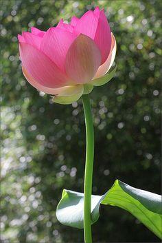 Pink Lotus Flower: IMG_6683-1000 | Flickr – Compartilhamento de fotos!