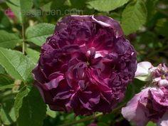 Old Garden Roses | Full size picture of Old Garden Rose 'Cardinal de Richelieu' ( Rosa )