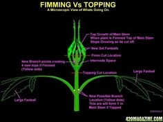fimming or topping-marijuana growing guide