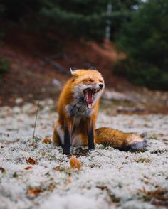 """improbableplutoniumdragon: """"everythingfox: """" Fox screm Photo by Alex Boudens """" why he screm """" Have you looked at the economy?"""