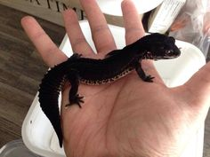 Black Knight gecko and its name will be toothless