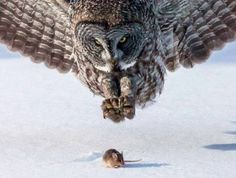 Post with 0 votes and 510 views. Great Grey Owl (Strix nebulosa) and unsuspecting prey by Tom Samuelson Beautiful Owl, Animals Beautiful, Beautiful Images, Owl Bird, Pet Birds, Animals And Pets, Cute Animals, Wild Animals, Baby Animals