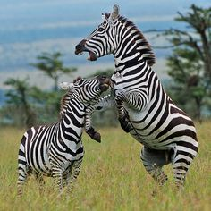 I took quite a few shots of zebras fighting. I always liked the human-looking teeth of zebras, as if they're wearing a set of those fake chompers. Beautiful Creatures, Animals Beautiful, Animals And Pets, Cute Animals, Wild Animals, Nature Sauvage, African Animals, African Safari, Fauna