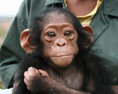 The Jane Goodall Institute cares for orphan chimpanzees of the commercial, illegal bushmeat trade