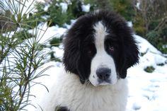 Landseer, 3 months old