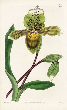 William Curtis Botanical Orchid Prints 1787-1826: