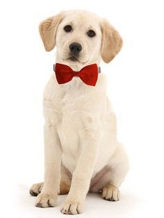 Red Dog Bow Tie  Formal Bow Tie for Dogs  Detachable Dog Bow