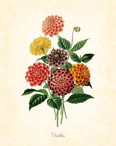 Antique Dahlias Botanical Art Print French 1849 by BelleMaisonArt