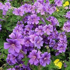 Purple Flowers, Garden, Plants, Geraniums, Knitting And Crocheting, Garten, Lawn And Garden, Gardens, Plant