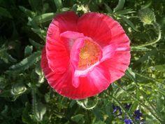 red pink poppy