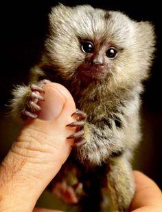 I ♥ mini Pygmy Marmoset monkeys!!! Their adorable littleness drives me crazy! haha)