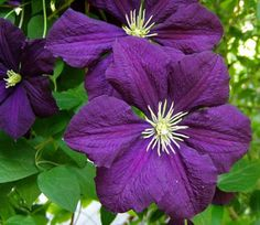 Viticella clematis is bred