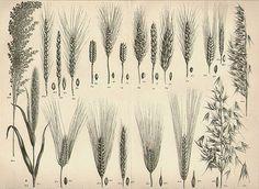 Antique 1899 BOTANICAL Art Print grains wheat illustration vintage collectible print Vintage Inclination 19