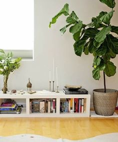 Q: Where on Earth (or at least in central NJ) does one find a fiddle leaf fig tree? Real or fake (preferably real), I can't find them anywhere except online, and I'd rather not purchase one this way. Thank you!