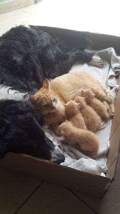 Ginger Cat Family with their Border Collie by Cats Are Awesome