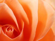 Awesome Orange Roses - Roses Wallpaper (34611167) - Fanpop