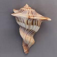 Angaria sphaerula ile ilgili görsel sonucu
