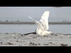 Snowy owl vs. peregrine falcon | Dear Kitty. Some blog