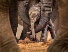 "Polubienia: 1,036, komentarze: 14 – @elephantloves_gram na Instagramie: """" circles of protection "" Reposted from @daily_elephant.lovers"""